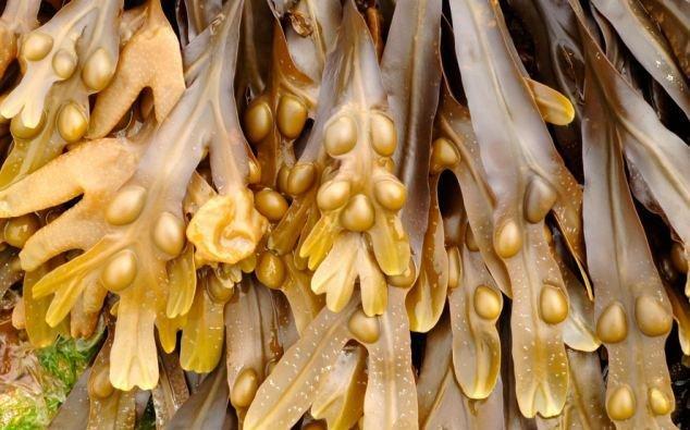 Шоколад из морских водорослей не портит талию