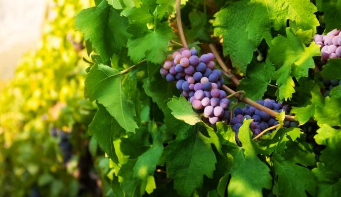 Чем полезны виноградные листья