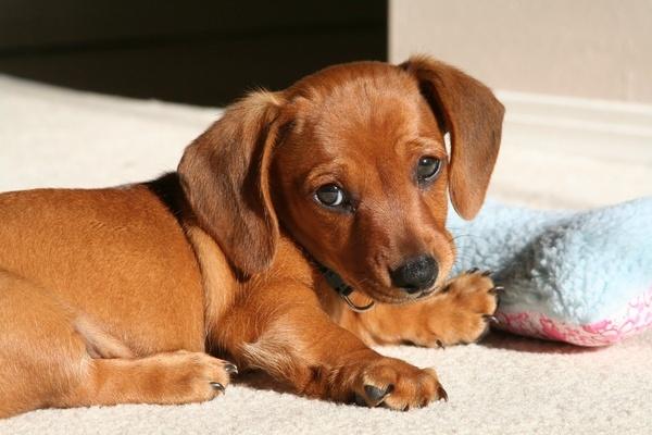 Вагинит у собак, причины, лечение, профилактика.