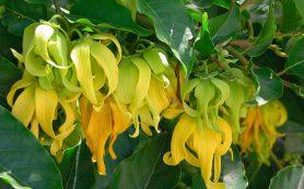 Иланг-иланг – экзотический «цветок цветков»