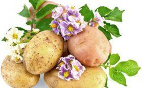 Что общего между картофелем и розой