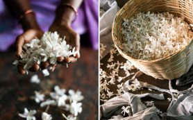 Как жасмин поможет улучшить экологию, парфюмерию и социальное благополучие?
